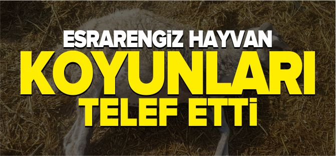 ESRARENGİZ HAYVAN KOYUNLARI TELEF ETTİ