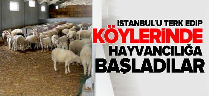 İSTANBUL'U TERK EDİP KÖYLERİNDE HAYVANCILIĞA BAŞLADILAR