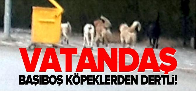 VATANDAŞ BAŞIBOŞ KÖPEKLERDEN DERTLİ!